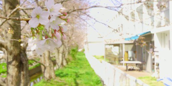 365BASEの桜